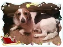 Beagle Mix Dog for adoption in Windham, New Hampshire - Valentine