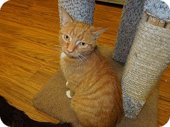 Domestic Shorthair Cat for adoption in Medina, Ohio - Emmett