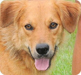Golden Retriever/Australian Shepherd Mix Dog for adoption in Wakefield, Rhode Island - PATRICK(LOVES HIS FAMILY!!)