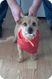 Cairn Terrier/Hound (Unknown Type) Mix Dog for adoption in Cincinnati, Ohio - Niles