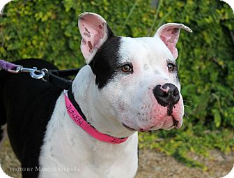 American Staffordshire Terrier/Bull Terrier Mix Dog for adoption in Los Angeles, California - Odie