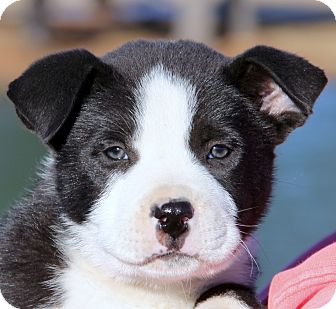 Bernese Mountain Dog/Labrador Retriever Mix Puppy for adoption in Pewaukee, Wisconsin - Panda