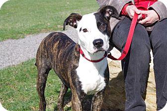 Boxer Mix Dog for adoption in Elyria, Ohio - Ashe