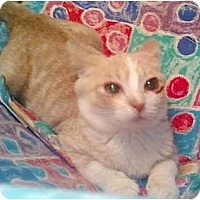 Domestic Shorthair Cat for adoption in Whitewater, Wisconsin - Jaguar