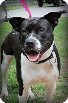 American Pit Bull Terrier Mix Dog for adoption in Sinking Spring, Pennsylvania - Lucy
