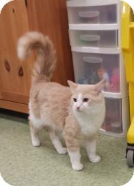 Domestic Mediumhair Cat for adoption in Gloucester, Massachusetts - Simba