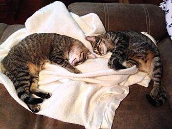Domestic Shorthair Cat for adoption in Royal Palm Beach, Florida - Pumpkin