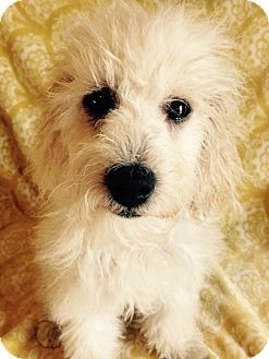 Labradoodle Puppy for adoption in Carlsbad, California - MATISSE