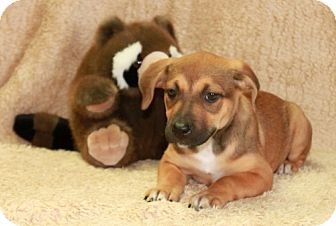 Beagle/Labrador Retriever Mix Puppy for adoption in Salem, New Hampshire - Cecelia