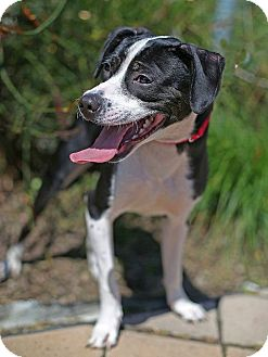 Beagle Mix Puppy for adoption in Berkeley, California - Harry