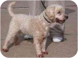Poodle (Miniature) Mix Dog for adoption in Brenham, Texas - Sally