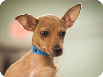 Chihuahua Mix Puppy for adoption in Dallas, Texas - Fin