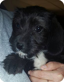 Terrier (Unknown Type, Small) Mix Puppy for adoption in Lima, Pennsylvania - Toni