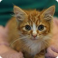 Adopt A Pet :: Cheetos-Adpt Pend - Canoga Park, CA