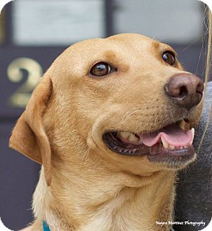 Labrador Retriever Mix Dog for adoption in Knoxville, Tennessee - Maize