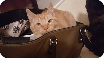 Domestic Shorthair Kitten for adoption in E. Claridon, Ohio - Archie