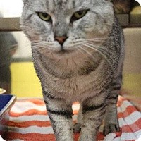 Adopt A Pet :: Mr Tiger - Chattanooga, TN