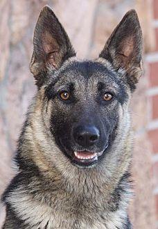 German Shepherd Dog Mix Dog for adoption in Los Angeles, California - Leia von Leidefelde
