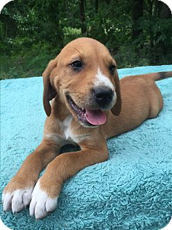 Black and Tan Coonhound/Treeing Walker Coonhound Mix Puppy for adoption in Kittery, Maine - Princess