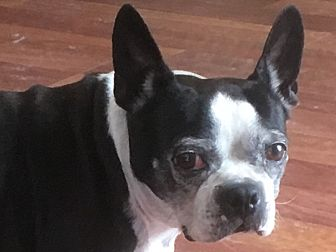 Boston Terrier Dog for adoption in Palm Coast, Florida - Babe