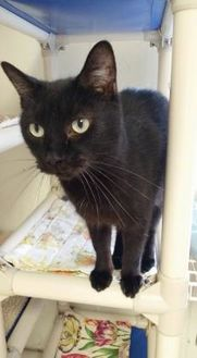 Domestic Shorthair/Domestic Shorthair Mix Cat for adoption in Shelbyville, Kentucky - Manny