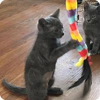 Domestic Shorthair Kitten for adoption in Fayetteville, Georgia - Cecelia