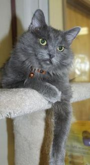 Domestic Mediumhair/Domestic Shorthair Mix Cat for adoption in Grass Valley, California - Yuba