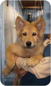 Golden Retriever Mix Puppy for adoption in Westport, Connecticut - Mindy