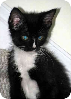Domestic Mediumhair Kitten for adoption in Chapel Hill, North Carolina - Simon