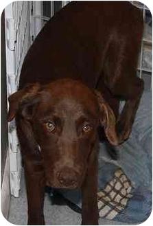 Labrador Retriever Mix Puppy for adoption in Homer, New York - Chip