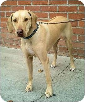 Rhodesian Ridgeback Dog for adoption in Los Angeles, California - Malia