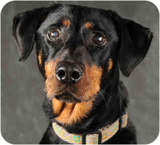 Doberman Pinscher Mix Dog for adoption in Chicago, Illinois - Alexis