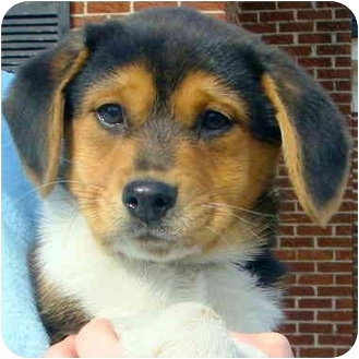 Beagle Mix Puppy for adoption in Pawling, New York - BONNIE