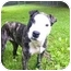 Photo 2 - Terrier (Unknown Type, Medium)/American Bulldog Mix Dog for adoption in Mocksville, North Carolina - Jenny