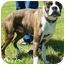 Photo 3 - Boxer Dog for adoption in North Judson, Indiana - Dozer