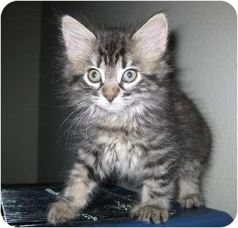 Domestic Longhair Kitten for adoption in Irvine, California - Kelsey