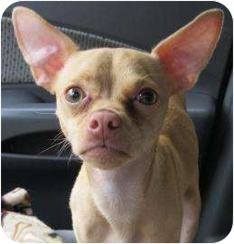 Chihuahua Dog for adoption in Old Bridge, New Jersey - Ren