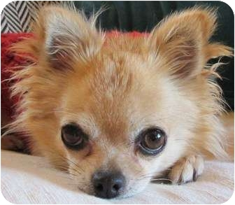 Chihuahua Dog for adoption in Ft. Collins, Colorado - Foxy
