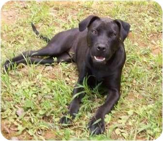 Labrador Retriever Mix Dog for adoption in Cumming, Georgia - Hillary