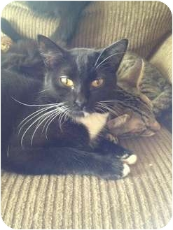 Domestic Shorthair Cat for adoption in Wenatchee, Washington - Ariel
