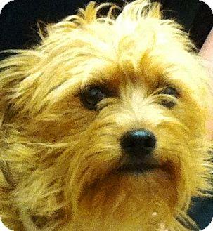 Yorkie, Yorkshire Terrier/Schnauzer (Miniature) Mix Puppy for adoption in Oswego, Illinois - Ashby