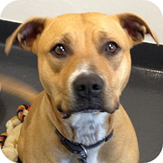 Pit Bull Terrier Mix Dog for adoption in Ithaca, New York - Peanut