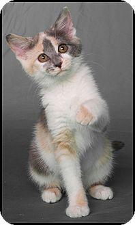 Domestic Shorthair Kitten for adoption in Mt. Prospect, Illinois - Pixie
