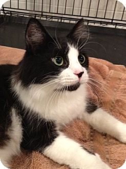 Domestic Longhair Cat for adoption in Byron Center, Michigan - Jax