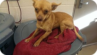 Chihuahua Mix Dog for adoption in Lake Worth, Texas - Mason