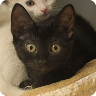Domestic Shorthair Kitten for adoption in Naperville, Illinois - Brittany
