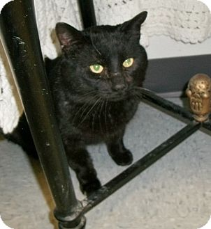 Domestic Shorthair Cat for adoption in Martinsville, Indiana - Axel