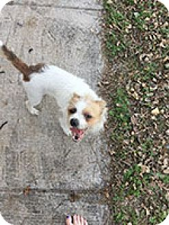 Jack Russell Terrier Mix Dog for adoption in Austin, Texas - Sam in San Antonio