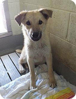 Shepherd (Unknown Type) Mix Dog for adoption in Franklin, Kentucky - Baxter