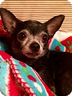 Chihuahua Dog for adoption in Edmond, Oklahoma - Lovey